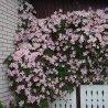 Roze - Wit Clematis mix