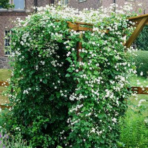 Rood - Wit Clematis mix 2