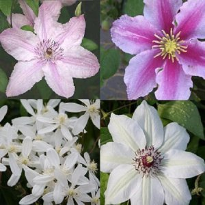Roze - Wit Clematis mix 2