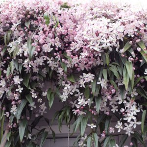Clematis Apple Blossom (groenblijvend)