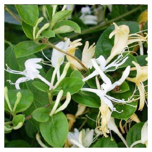 Lonicera Caprifolium (Kamperfoelie)
