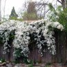 Clematis Little white charm (groenblijvend)