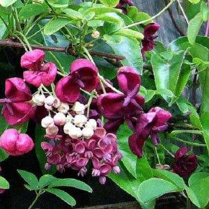 Akebia Quinata / klimbes (semi groenblijvend)