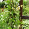Star of Toscane / Gele Sterjasmijn (groenblijvend)