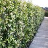 Klimplanten haag groenblijvend zonder Hedera (2,5 meter)