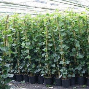 Hedera Hibernica 175-200 cm (klimop): voor 100% privacy