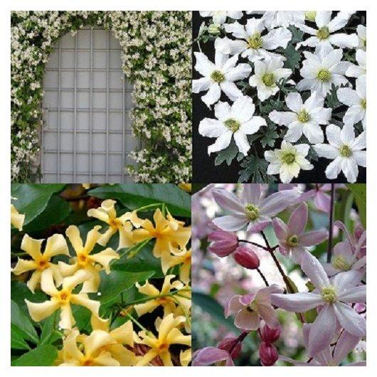 Wit/roze/geel en groenblijvende klimplanten mix