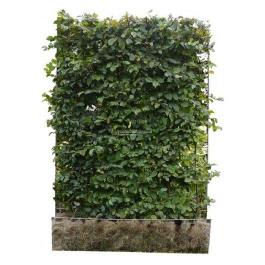 Kant en klaar haag Carpinus Betulus (haagbeuk): 120x155cm