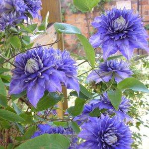 Klimroos New Dawn + Clematis Multi Blue