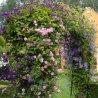 Klimroos New Dawn + Clematis Etoile Violette