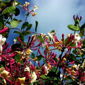 Lonicera Red World (Kamperfoelie)