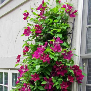 Rood-Roze Clematis mix