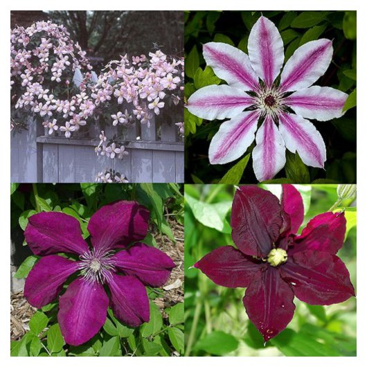 Rood-Roze Clematis mix 2