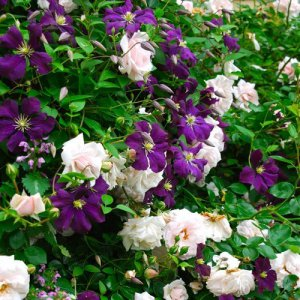 Klimroos New Dawn + Clematis Viticella