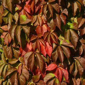 parthenocissus quinquefolia 'Engelmanni' (Wilde Wingerd)