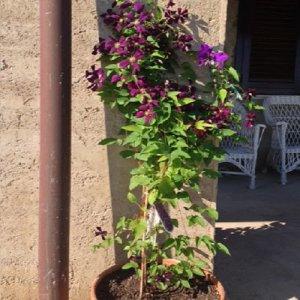 Clematis Etoile Violette (voor balkon en patio)