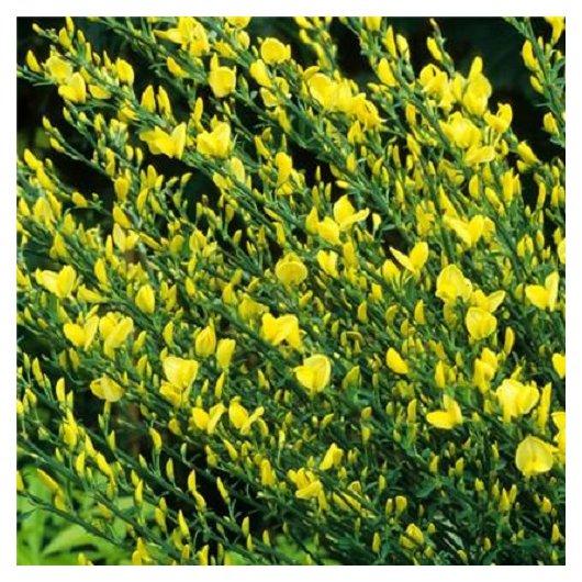 Cytisus 'Allgold' (Brem)