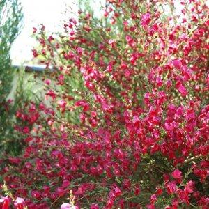 Cytisus 'Boskoop Ruby' (Brem)