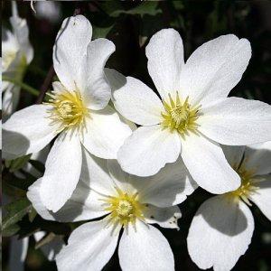 Clematis Avalanche (groenblijvend)