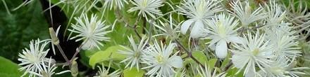 Laatbloeiende Clematis soorten: ClematisOnline-klimplanten