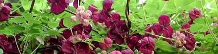 Groenblijvende klimplanten goedkoop bij ClematisOnline-klimplanten