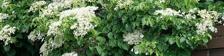 Klimplanten voor in de schaduw koopt u goedkoop bij ClematisOnline.nl