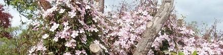 Klimplanten om in bomen te laten groeien koopt u bij ClematisOnline